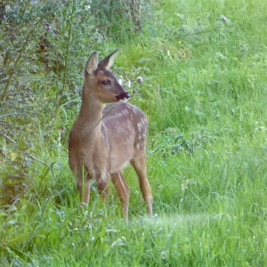 Roe Fawn at Holly Cottage